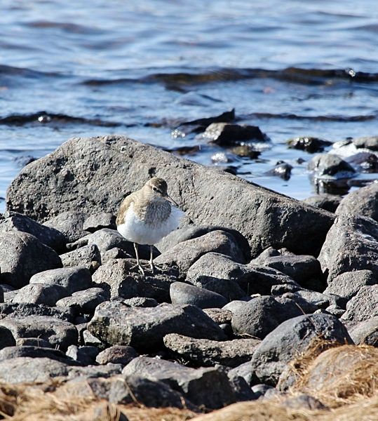 Common Sandpiper, Loch Druidibeg, South Uist