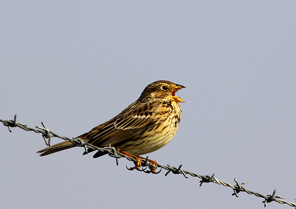 Corn Bunting Hebridean Imaging Photography Outer Hebrides Western Isles