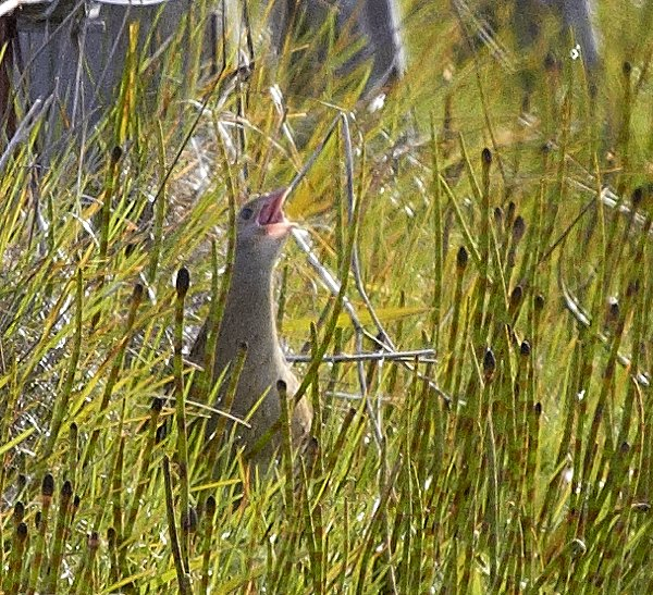 Corncrake Hebridean Imaging Photography Outer Hebrides Western Isles
