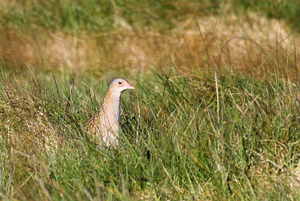Corncrake - South Uist