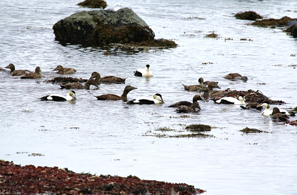 Eider Hebridean Imaging Photography Outer Hebrides Western Isles