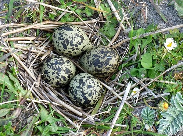 Lapwing nest