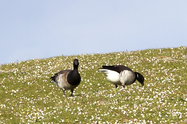 Pale-bellied Brent Goose - Hebridean Imaging bird and wildlife photography