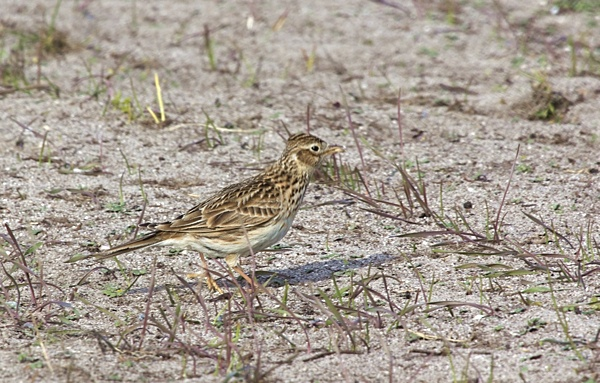 Skylark - Hebridean Imaging bird and wildlife photography