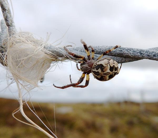 Furrow Spider (Larinioides cornutus)