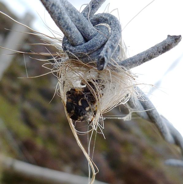 Furrow Spider - Larinioides cornutus
