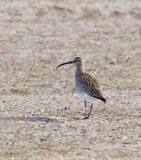 Whimbrel - Hebridean Imaging bird and wildlife photography