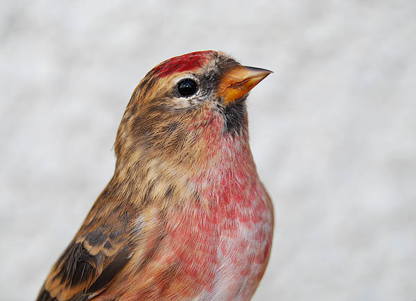 Lesser Redpoll Hebridean Imaging Photography Outer Hebrides Western Isles
