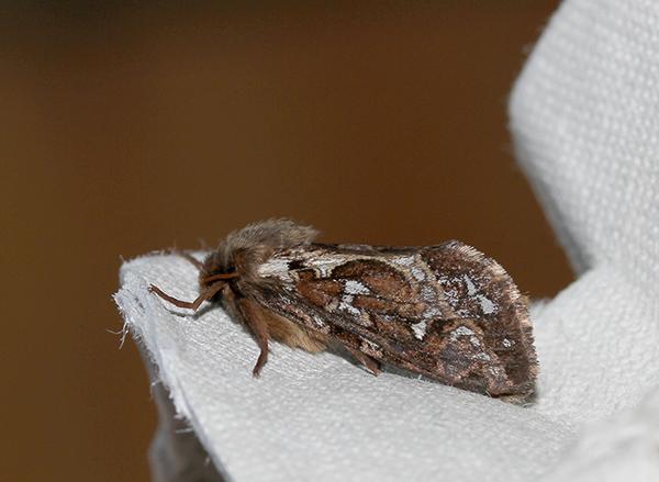 Map-winged Swift