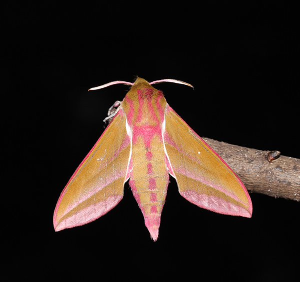 Elephant Hawk-moth, South Uist, Outer Hebrides