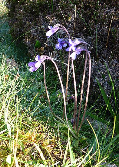 Butterwort, South Uist, Outer Hebrides