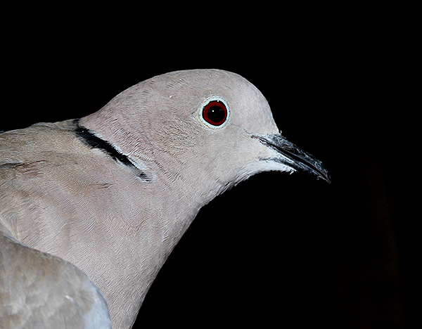 Collared Dove, South Uist, Outer Hebrides