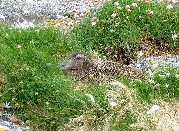 eider nest eider down