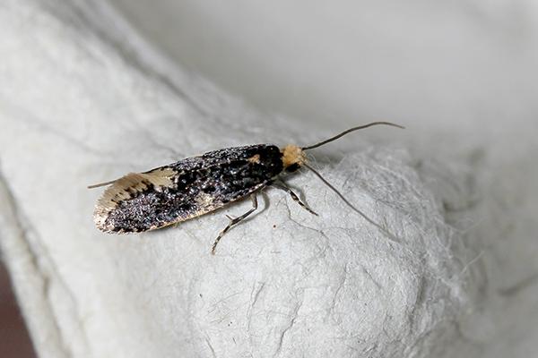 Monopis weaverella