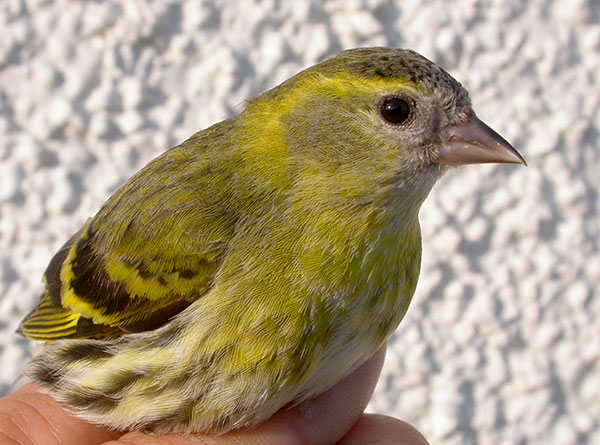 Siskin, South Uist, Outer Hebrides