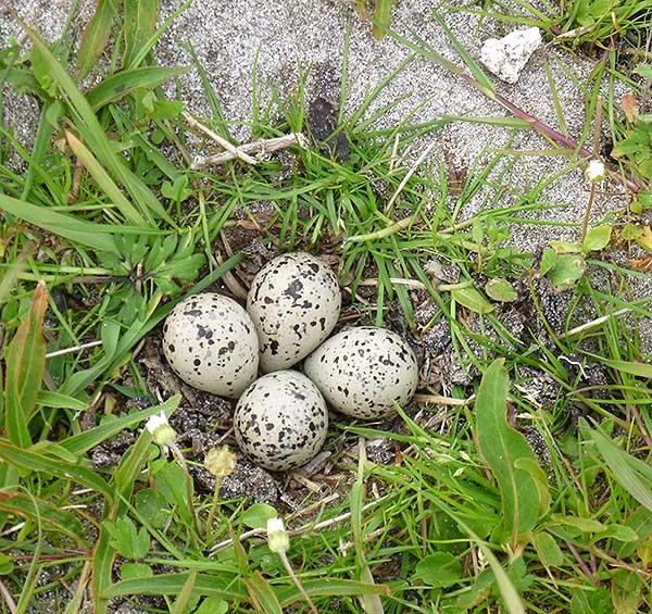 ringed plover nest