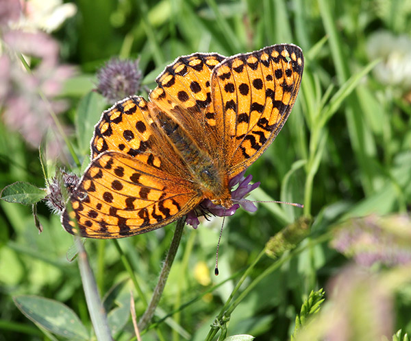Dark Green Fritillary, South Uist