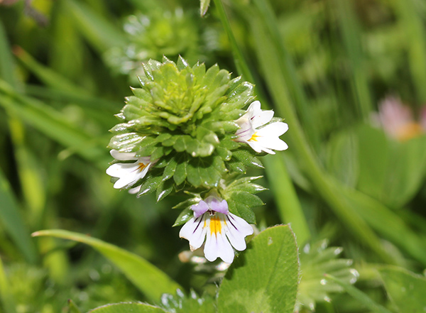 eyebright, south uist