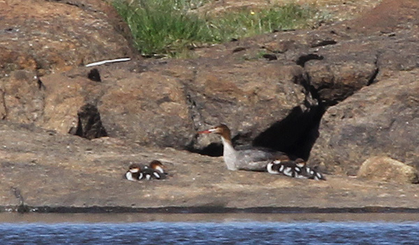 Red-breasted Merganser with young, South Uist