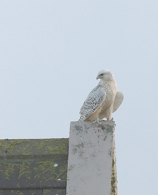 Gyrfalcon, South Uist, Outer Hebrides