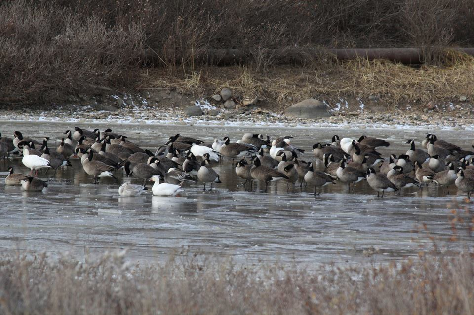 Snow Geese and Canada Geese