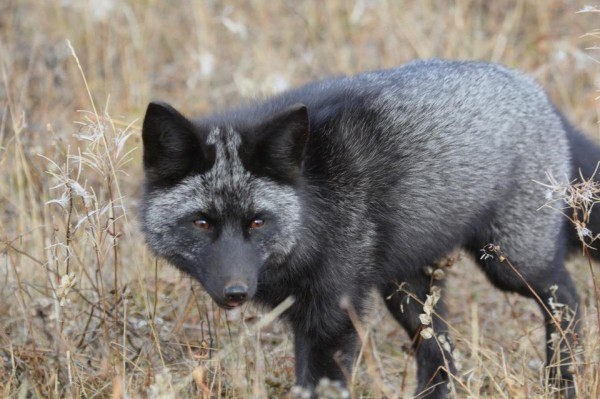 Silver Fox, Churchill, Manitoba