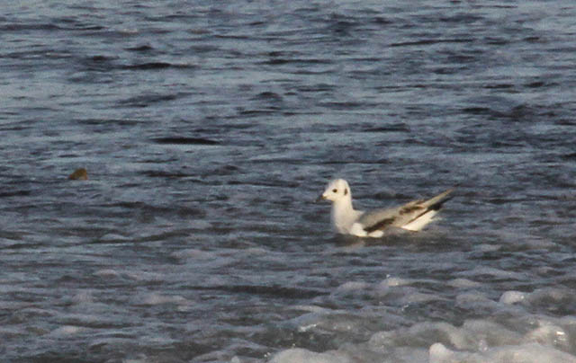 Bonaparte's Gull, South Uist