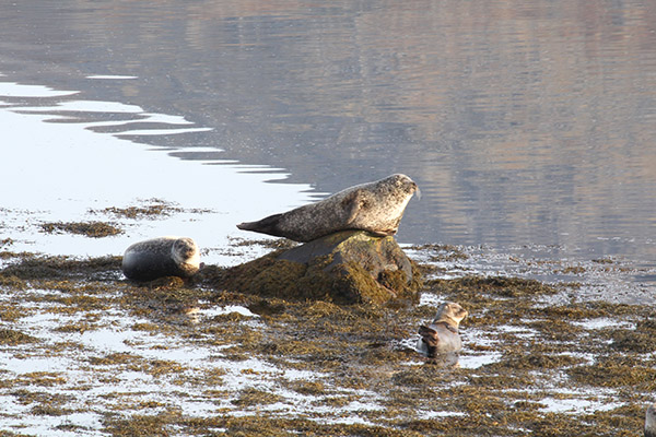 Seals, Outer Hebrides