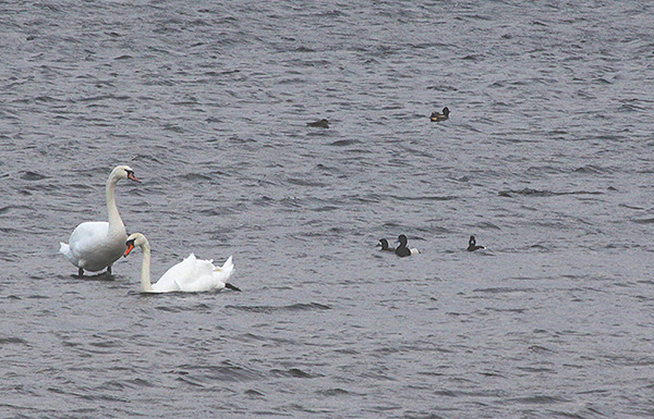 Mute Swans and Scaup