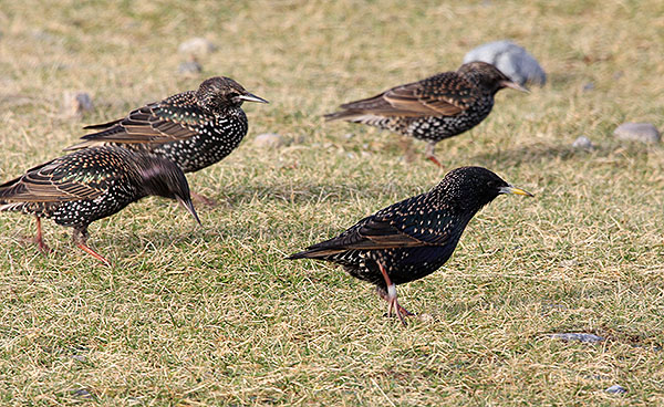 spotted near Rubha Ardvule - a Starling with a ring! One of ours?? Who knows?