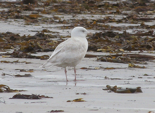 Glaucous Gull, Askernish beach.