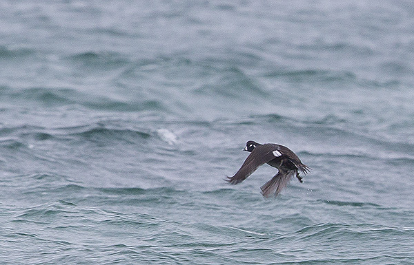 Harlequin Duck, North Uist, Outer Hebrides, photo by Yvonne Benting, Hebridean Imaging