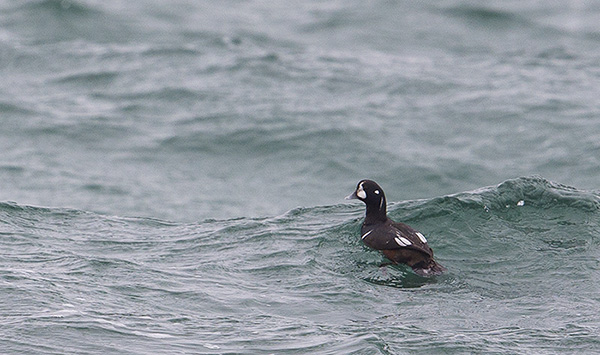Harlequin Duck, North Uist, Outer Hebrides photo by Yvonne Benting, Hebridean Imaging