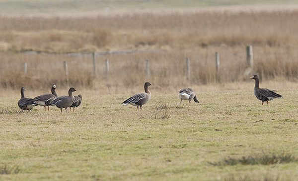 Two Pink-feet in amongst the White-fronts