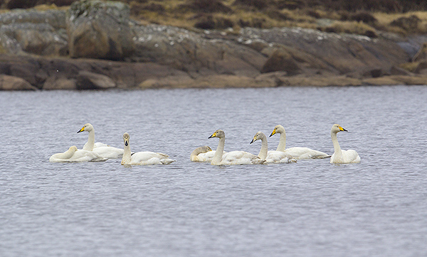 Whooper Swans gathering up on Loch Hallan.