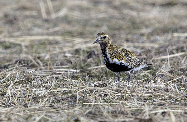 Golden Plover, bird photography by Hebridean Imaging