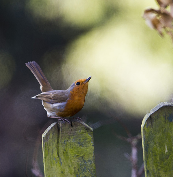 Robin, bird photography by Hebridean Imaging