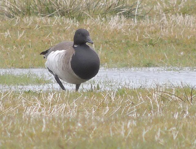 Brent Goose, 90th species for my 2013 patch list