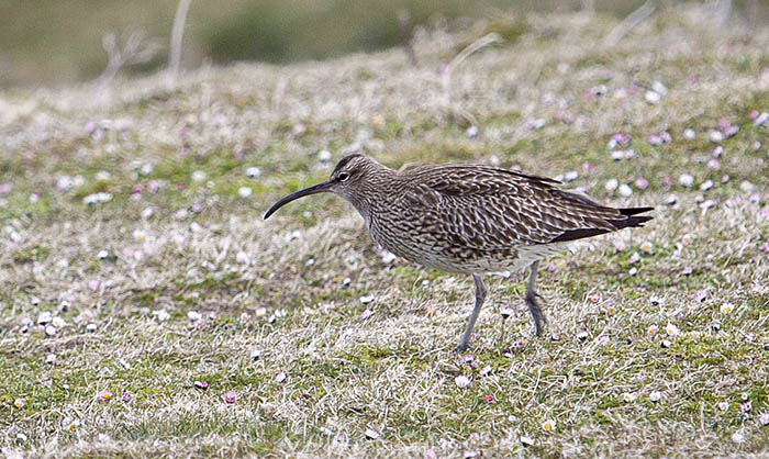 Whimbrel, Bornish