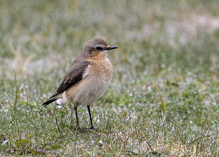 Wheatear, female