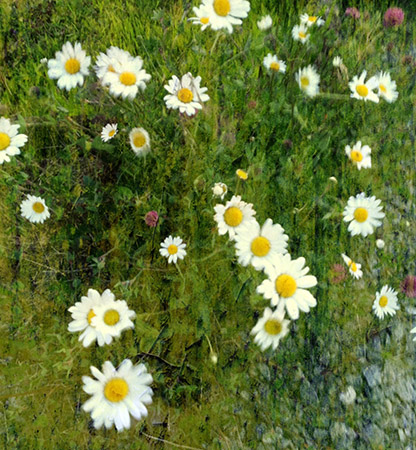 Daisies - iPad photo